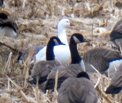 Ross's Goose, Somerset County, NJ, Dec. 16, 2012