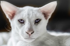 nose, animal, kitten, siamese, peterbald, khao manee, small to medium-sized cats, pet, snout, oriental shorthair, javanese, close-up, cat, carnivoran, whiskers, domestic short-haired cat,