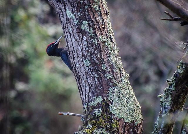 Black Woodpecker / Pito Negro (Dryocopus martius)