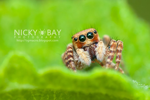 Jumping Spider (Salticidae) - DSC_1908