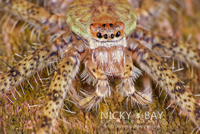 Lichen Huntsman Spider (Pandercetes sp.) - DSC_2883