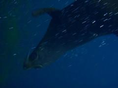 animal, marine mammal, sea, marine biology, underwater,