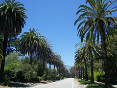 california_palm_trees4