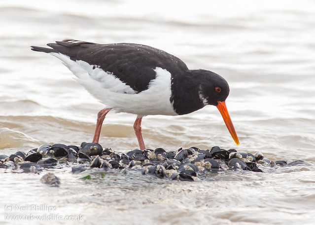 Oystercatcher feeding 6