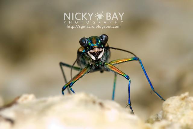 Tiger Beetle (Cicindelinae) - DSC_6985