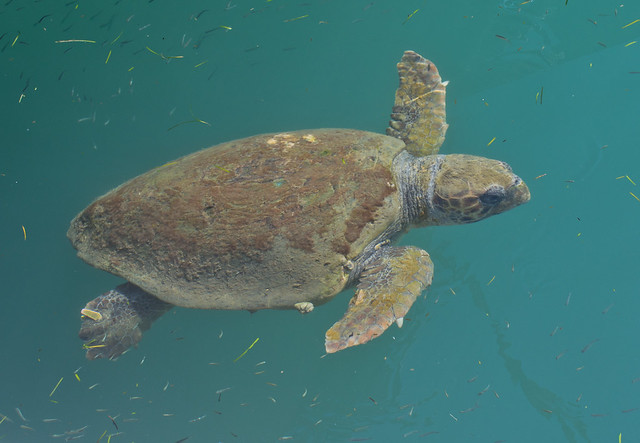 Loggerhead turtle in Argostoli Lagoon