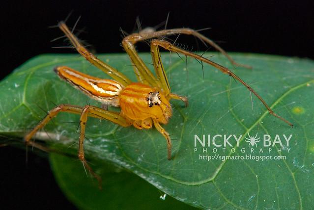 Lynx Spider (Oxyopidae) - DSC_6802