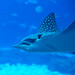 Small photo of Spotted eagle ray (Aetobatus narinari)
