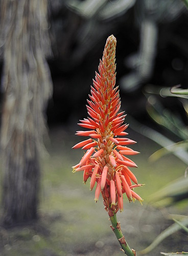 Aloe Blooms by RV Bob