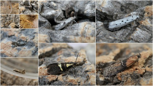 2012 micro moth highlights - adults
