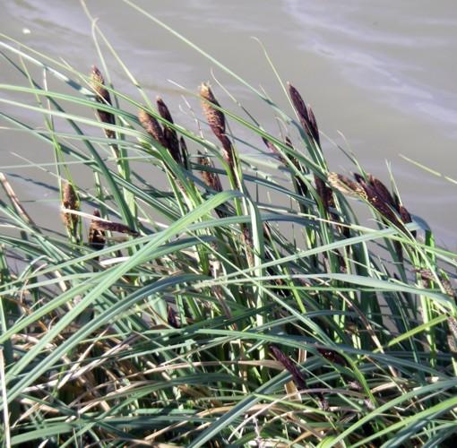 Carex riparia 8339071514_e1425c340e_o