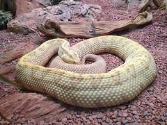 boas(0.0), eastern diamondback rattlesnake(0.0), boa constrictor(0.0), hognose snake(0.0), garter snake(0.0), sidewinder(0.0), animal(1.0), serpent(1.0), snake(1.0), reptile(1.0), fauna(1.0), viper(1.0), rattlesnake(1.0), scaled reptile(1.0), kingsnake(1.0),