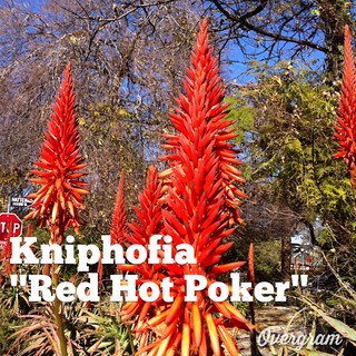 "Garden Alphabet: Kniphofia ""Red Hot Poker"""