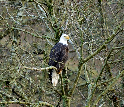 bald eagle on the oregon coast
