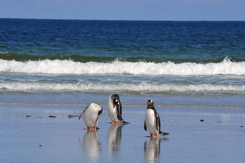 Gentoo Penguins by emmbylou