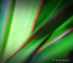 Palm Leaves Macro