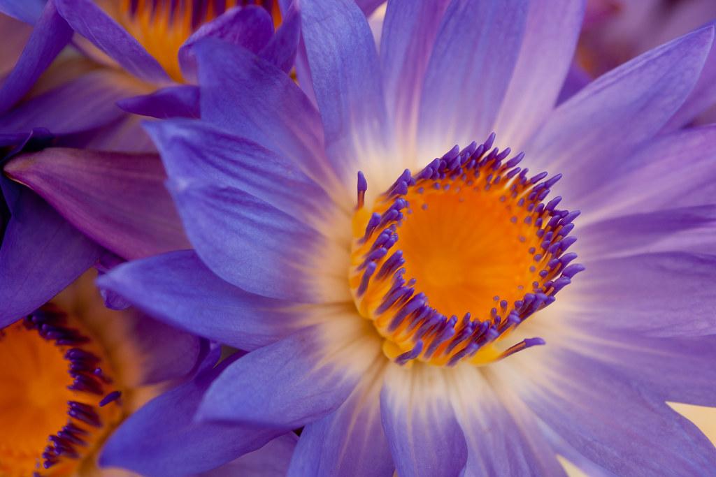 Lotus Flower (Nymphaea nouchali), Myanmar