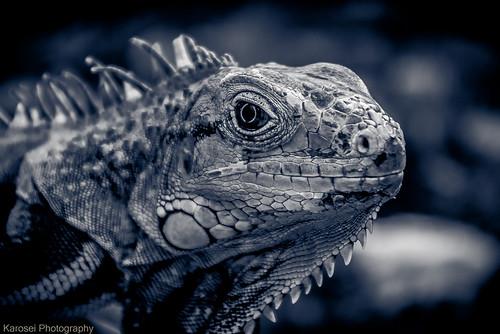 Iguana iguana by Karosei
