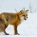 Red Fox by Wroot Down