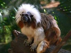 animal, primate, fauna, old world monkey, new world monkey, wildlife,