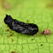 Small photo of Eulophidae
