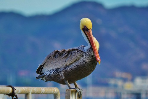 AB_8 Avila Beach Pelican