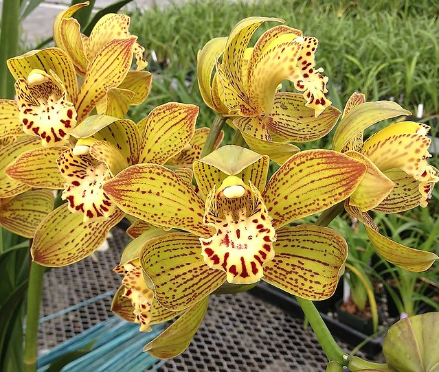 Cymbidium Carmen Segrera 'New Horizon' 4n