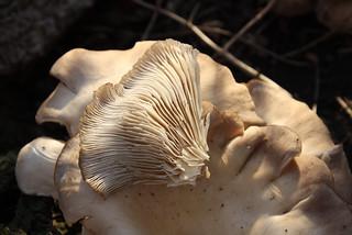 Elm Oyster gills