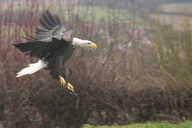 DSC_5387 Bald Eagle