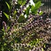 Bushy African Blue Basil Perennial Plant In The Morning Sun /|"|75|75|?|False|92094ef3dcbd61dae02788007b8ed935|False|UNLIKELY|0.30027955770492554