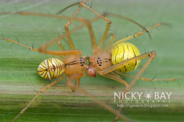 Striated Tylorida Spiders Mating (Tylorida striata) - DSC_2021