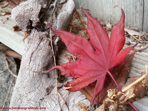 Macro photo of fallen maple leaf on weathered wood. In reaction to tragedy let us find the light within and make it grow with our attention and love.
