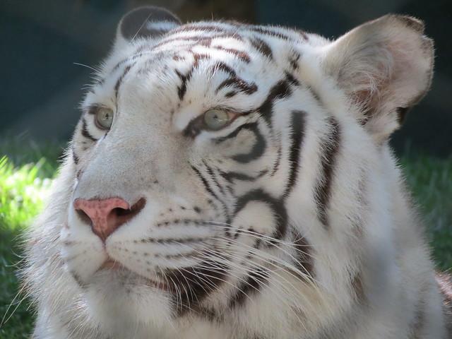 Tigers In Vegas