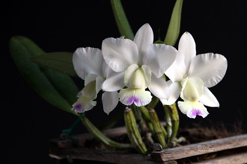 Cattleya Snow Blind 'Kenny'