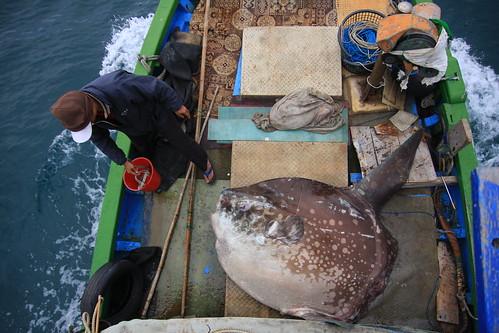 為了生計,曼波魚成了漁民用各種漁法捕捉的重要目標。今年漁獲大減,一艘船若是能鏢到一尾曼波便算好運