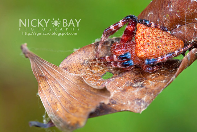 Red Tent Spider (Cyrtophora unicolor) - DSC_3136