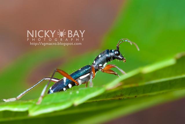 Longhorn Beetle (Cerambycidae) - DSC_2237