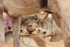 Camel Market (34)