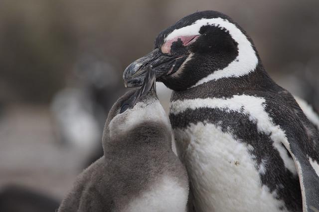 pingouins6_C220101