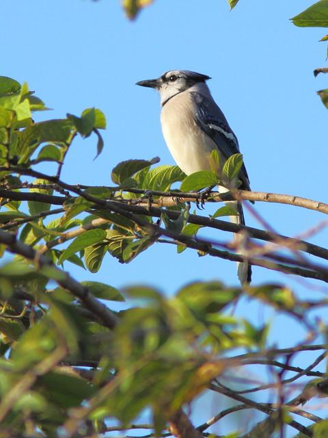 Blue Jay 20121224