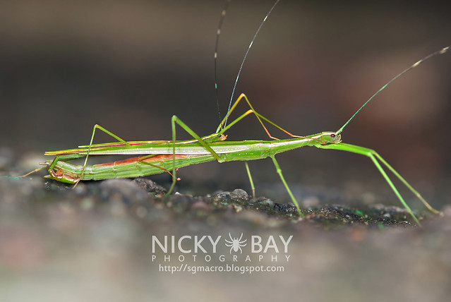 Stick Insects (Phasmatodea) - DSC_0545