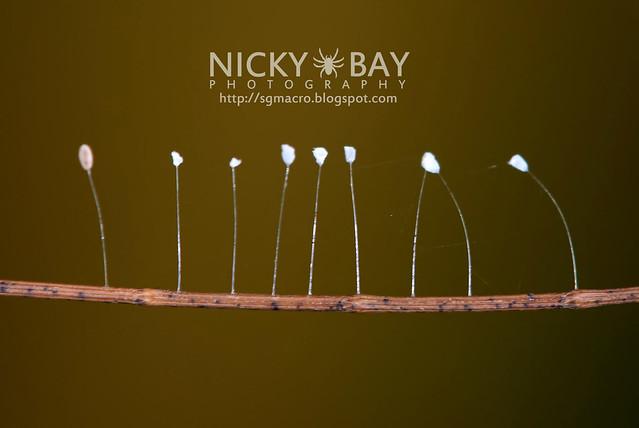 Lacewing eggs (Chrysopidae) - DSC_1126
