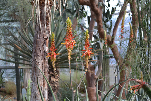 Aloe graciliflora