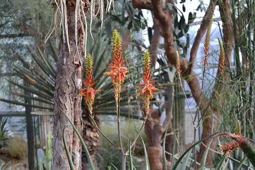 Алоэ graciliflora