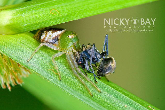 Crab Spider (Thomisidae) - DSC_0210