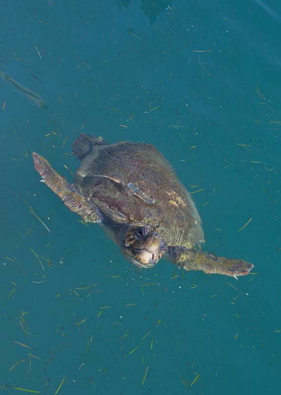 Loggerhead turtle in Argostoli Lagoon 2