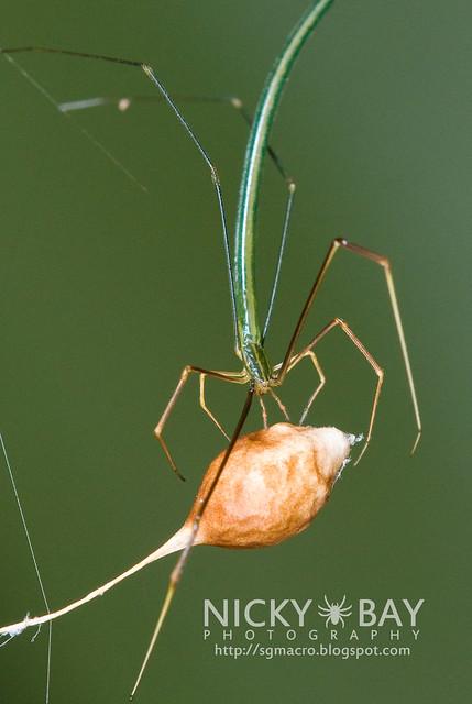 Twig-Like Whip Spider (Ariamnes sp.) - DSC_7702