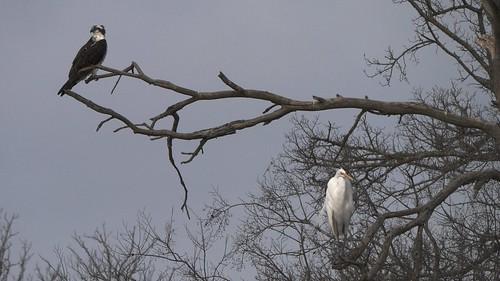 Osprey, Great Egret