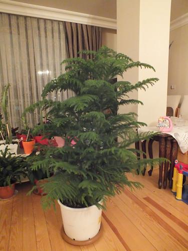 A karácsonyi páfrány már csak a díszítésre vár