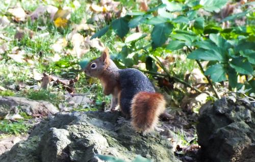 Vörös mókus (Sciurus vulgaris)